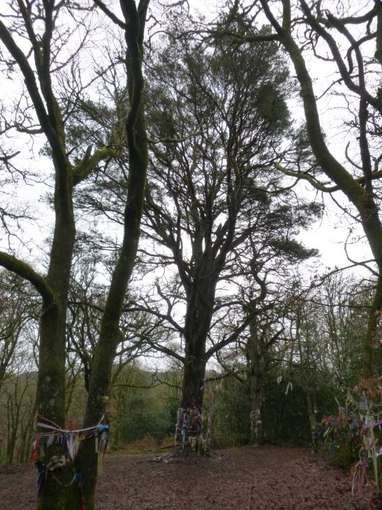 Minister's Pine, Doon Hill, Aberfoyle, Highlands, Scotland