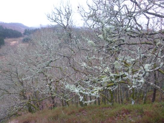 Doon Hill, Aberfoyle, Highlands, Scotland, lichen