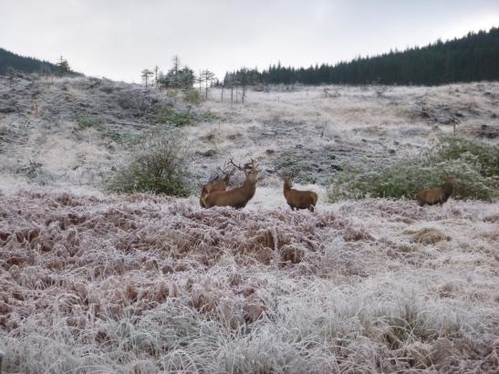 Wild deer, Glen Etive